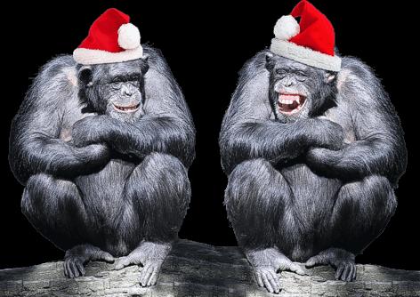 Humour chimpanzés