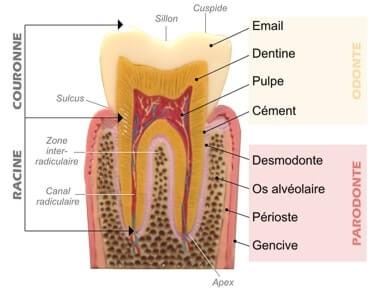 anatomie dent2