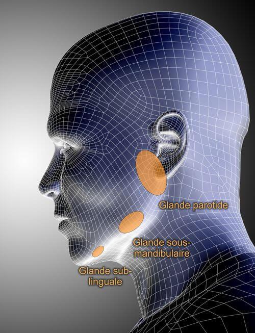 Vue de profil - glandes salivaires